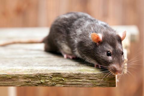 hvor bor rotter